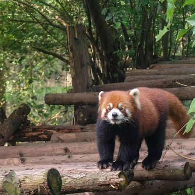 Chengdu, Red panda